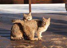 Dos gatos lindos, se sientan de lado a lado en un mirador de madera, un día soleado de la primavera Foto de archivo libre de regalías