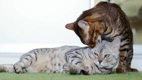 Dos gatos marrones y grises divertidos que se lamen almacen de video