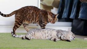 Dos gatos marrones y grises divertidos que se lamen almacen de metraje de vídeo