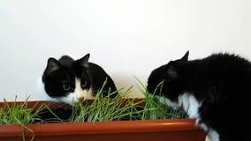 Dos gatos nacionales comen la hierba brotada Avena creciente en un pote El gato lame y sacude su cabeza divertida almacen de video