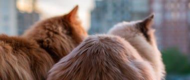 Dos gatos nacionales hermosos se sientan uno al lado del otro en el balc?n contra la puesta del sol imagen de archivo