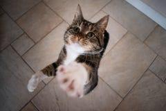 Dos gatos nacionales que miran para arriba y que esperan una invitación imágenes de archivo libres de regalías