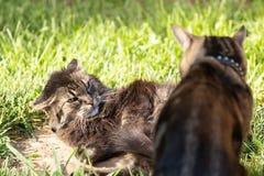 Dos gatos nacionales uno de ellos con los oídos reclinaron y observan deslumbrarse en el otro que se ha atrevido a perturbar su s fotos de archivo