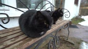 Dos gatos negros similares que se relajan en el banco, descansando, jugando, animales divertidos con las colas almacen de video