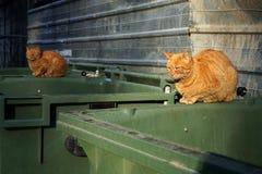 Dos gatos perdidos que mienten en el envase sucio de la basura Foto de archivo