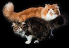 Dos gatos persas de diverso colorante imagen de archivo libre de regalías