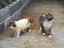 Dos gatos persas que se colocan en fondo de la naturaleza Fotos de archivo