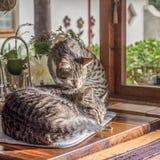 Dos gatos por la ventana Foto de archivo libre de regalías