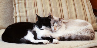 Dos gatos que abrazan en el sofá fotos de archivo