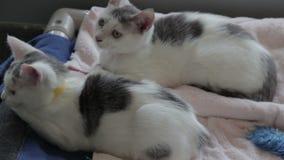 Dos gatos que colocan almacen de video