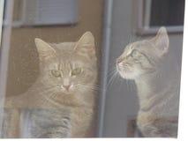 Dos gatos que se deslumbran fuera de una ventana Fotografía de archivo