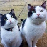 Dos gatos que se sientan en el umbral Fotos de archivo libres de regalías