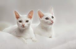 Dos gatos rusos blancos Imagenes de archivo
