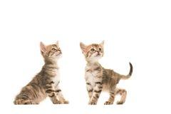 Dos gatos turcos del bebé del angora del gato atigrado lindo que colocan uno al lado del otro ambos que miran para arriba Foto de archivo