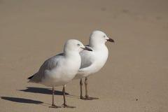 Dos gaviotas blancas amistosas que se colocan en una playa arenosa. Fotos de archivo libres de regalías