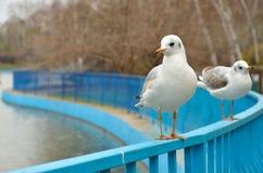 Dos gaviotas blancas se sientan en la cerca Fotos de archivo libres de regalías