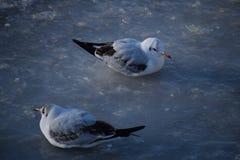 Dos gaviotas de cabeza negra están en el invierno que lleva del hielo y el plumaje juvenil fotos de archivo libres de regalías