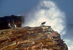 Dos gaviotas del cabo enmarcadas por una onda enorme Fotografía de archivo libre de regalías