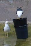 Dos gaviotas en agua Fotografía de archivo