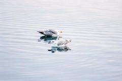Dos gaviotas en la superficie del agua del lago fotografía de archivo