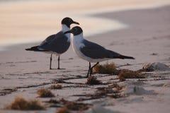 Dos gaviotas que se colocan en la playa en salida del sol de la madrugada con marea Imagen de archivo libre de regalías