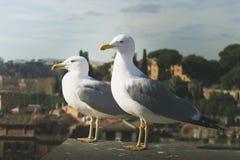 Dos gaviotas que se oponían a la vista de la ciudad de Roma empañaron foto de archivo