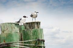 Dos gaviotas que se reclinan sobre el pilón de madera Foto de archivo libre de regalías