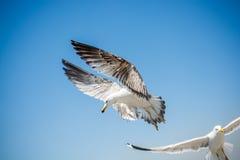 Dos gaviotas que vuelan en un cielo Foto de archivo