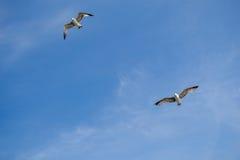 Dos gaviotas que vuelan en un cielo Imagenes de archivo