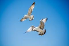 Dos gaviotas que vuelan en un cielo Imagen de archivo libre de regalías