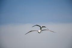 Dos gaviotas que vuelan en un cielo Fotos de archivo libres de regalías