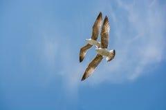 Dos gaviotas que vuelan en un cielo Imagen de archivo