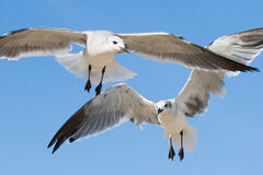 Dos gaviotas que vuelan por encima foto de archivo libre de regalías