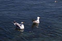 Dos gaviotas traseras negras que nadan en agua azul Una gaviota que mira para arriba y para comida que espera, el otro que vadea  fotografía de archivo