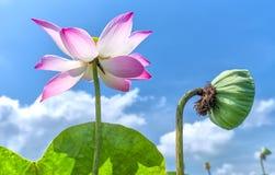 Dos generaciones de vida de la flor de loto Imagenes de archivo
