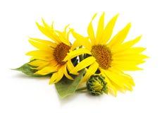 Dos girasoles de las flores imágenes de archivo libres de regalías