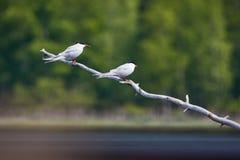 Dos golondrinas de mar comunes que se sientan en una rama de árbol Los pájaros blancos hermosos ponen verde el bosque en el fondo Fotografía de archivo libre de regalías
