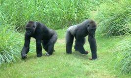 Dos gorilas Fotografía de archivo libre de regalías