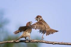 Dos gorriones divertidos de los pájaros en la primavera en el parque en una rama Fotografía de archivo