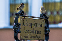 Dos gorriones en el indicador en el parque de la ciudad de Gomel (Bielorrusia) Imagen de archivo libre de regalías