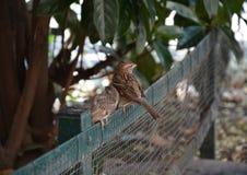 Dos gorriones en Venecia Imagen de archivo libre de regalías