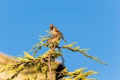Dos gorriones encaramados en una rama Fotos de archivo