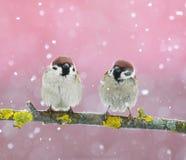 Dos gorriones lindos divertidos de los pájaros que se sientan en una rama durante un snowf Foto de archivo libre de regalías