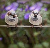 Dos gorriones que se colocan en un cable Imagen de archivo libre de regalías