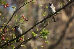 Dos gorriones que se sientan en escuchar y wai de una rama Foto de archivo