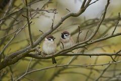 Dos gorriones, una rama foto de archivo