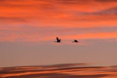 Dos grúas de Sandhill en la salida del sol Foto de archivo libre de regalías