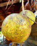 Dos granadas en un árbol Foto de archivo libre de regalías