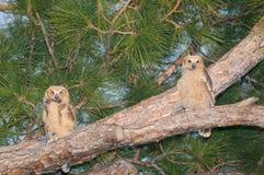 Dos grandes bebés del buho de cuernos - virginianus del bubón Imagen de archivo