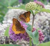 Dos grandes mariposas Spangled del Fritillary Fotografía de archivo